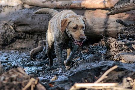 A search and rescue dog is guided through properties after a mudslide in Montecito, California, U.S. January 12, 2018.  REUTERS/ Kyle Grillot
