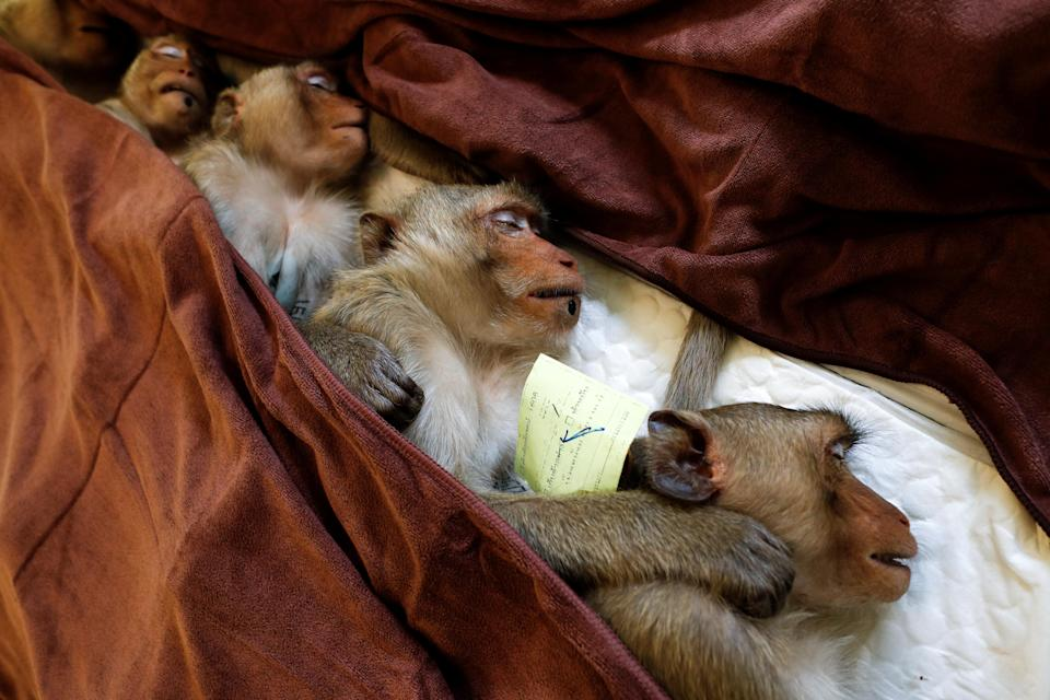 Monkeys spend the night in a veterinary practice recovering. (Reuters)