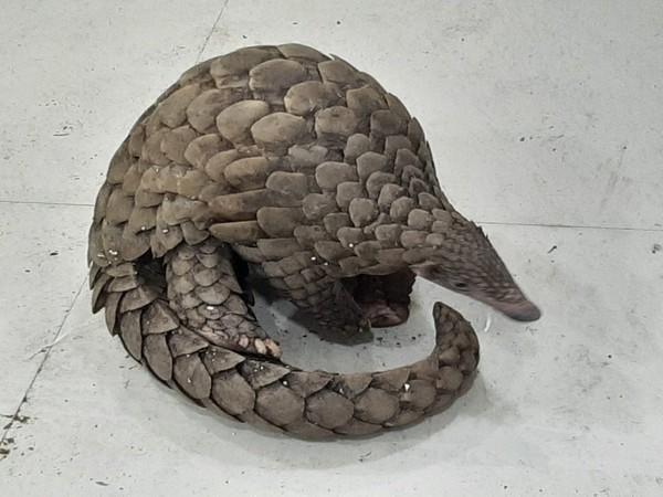 Odisha Police seized a live pangolin in Cuttack (Photo/ANI)