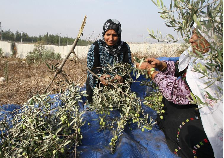Members of the Palestinian al-Sweity family harvest olive trees in the village of Deir Samet in the occupied West Bank on October 11, 2014