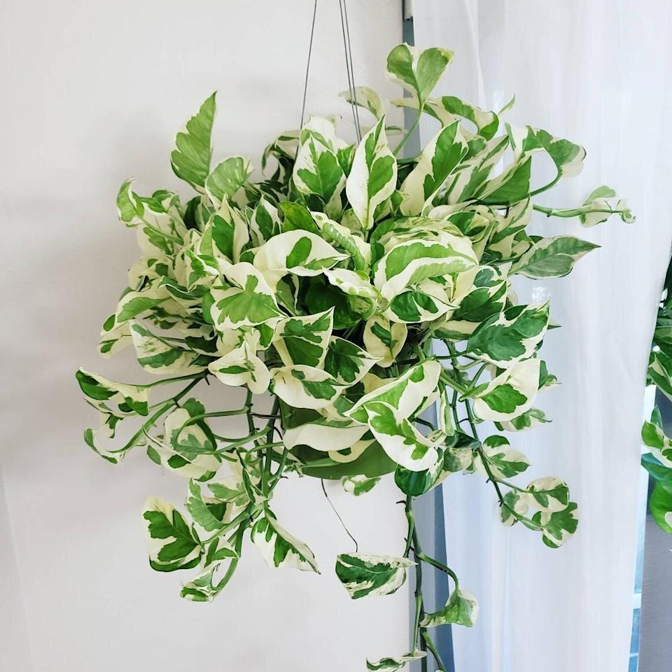 Pearls and Jade Pothos Plant