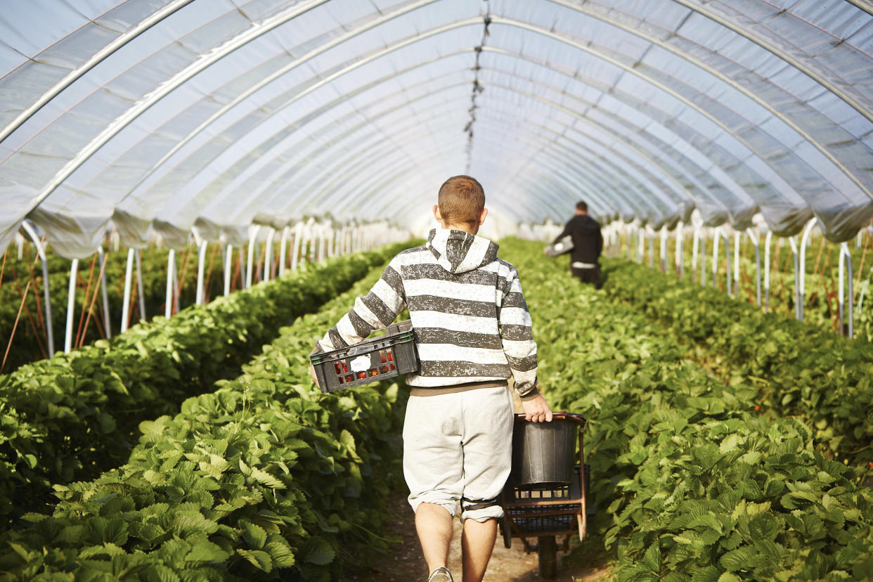 A 16 per cent shortfall in the seasonal workforce could hit supermarkets with fruit and vegetable shortages in the run-up to Christmas. (Getty)