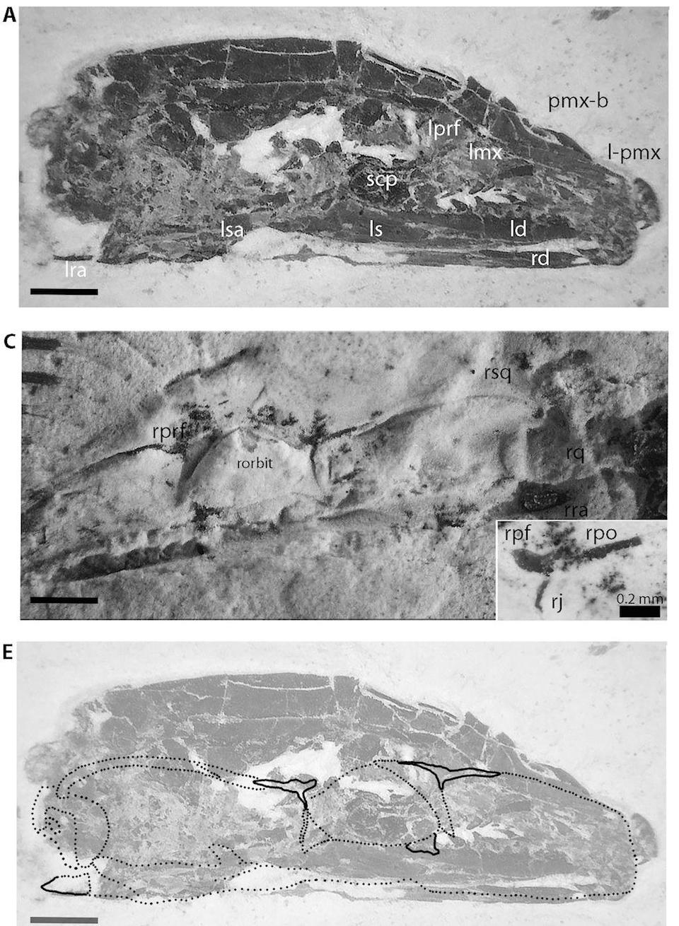 When placed together, the part and counterpart fossils (top two) form an entire skull (bottom) that is not snakelike, the authors of the new research said. <cite>Michael Caldwell</cite>
