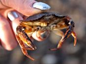 <p><strong>State Crustacean: Dungeness crab </strong></p><p>A fourth grade class petitioned the legislature in 2009 to get the Dungeness crab made the official state crustacean. </p>