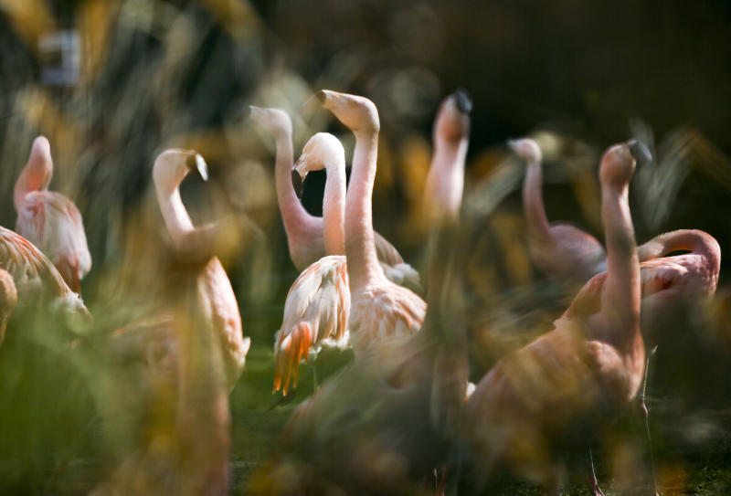 FILE - In this April 12, 2012 file photo flamingos stand in their compound at the zoo in Frankfurt, central Germany. German police are hunting a killer responsible for the death of 15 flamingos at Frankfurt Zoo, some of which were beheaded as they slept. The culprit, or culprits, struck twice, both times at night. Keepers found nine of the long-necked, pink birds dead in their enclosure on Friday, March 21, 2014 and another six Saturday, March 22, 2014. (AP Photo/dpa, Frank Rumpenhorst, File)
