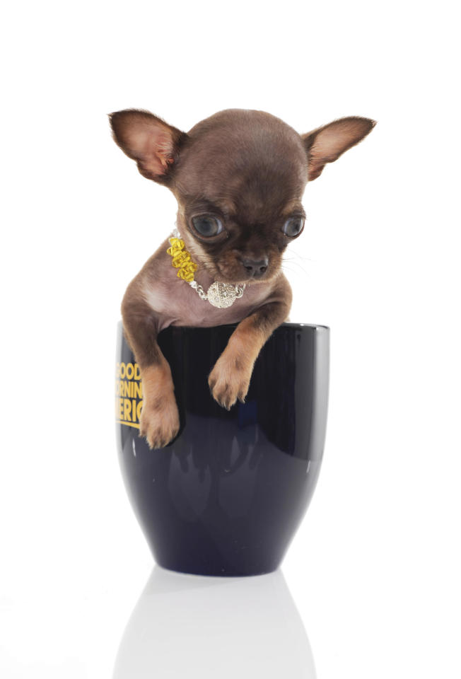 Milly, the Puerto Rican Chihuahua, weighs about 7 ounces and is 3 inches tall.