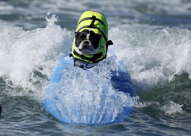 A dog competes in the Surf City surf dog competition in Huntington Beach, California, September 29, 2013. REUTERS/Lucy Nicholson (UNITED STATES - Tags: SPORT SOCIETY ANIMALS)