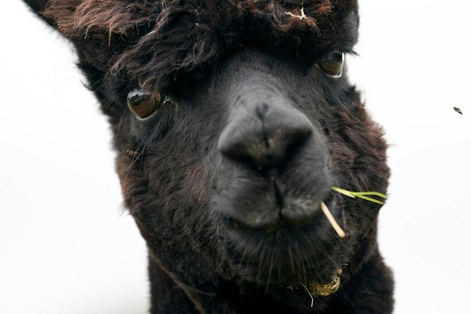 Geronimo the alpaca has been condemned to death after testing positive for bovine TB (PA) (PA Wire)