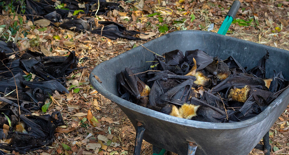 A wheelbarrow full of dead flying foxes, taken after the 2018 Cairns heatwave.