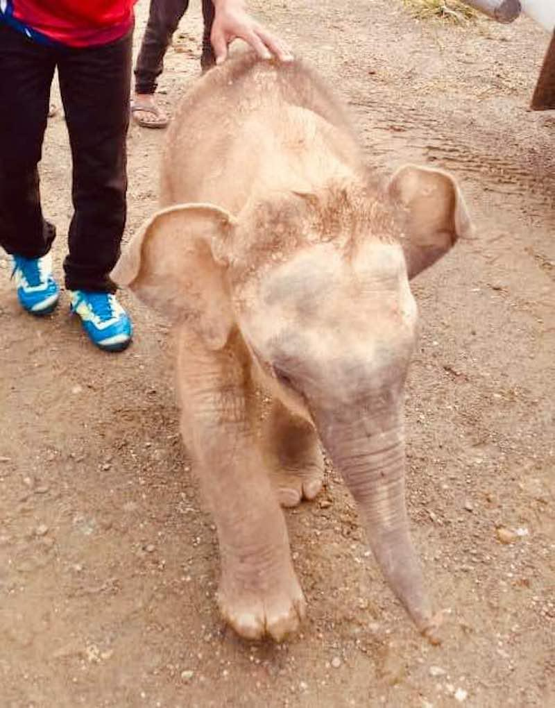 The baby elephant found in Brumas, Tawau, on July 10 2018 was weakened but not aggressive when approached by wildlife rangers. — Picture courtesy of witnesses