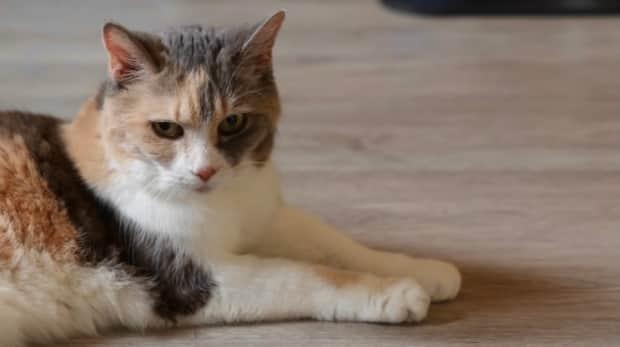 Mackenzie is unimpressed. The Halifax-based cat inspired her owner, Angela Rafuse, to start a non-profit that finds new homes for the pets of seniors and those with terminal illnesses. She's also gathered quite the online following. (Jeorge Sadi/CBC - image credit)