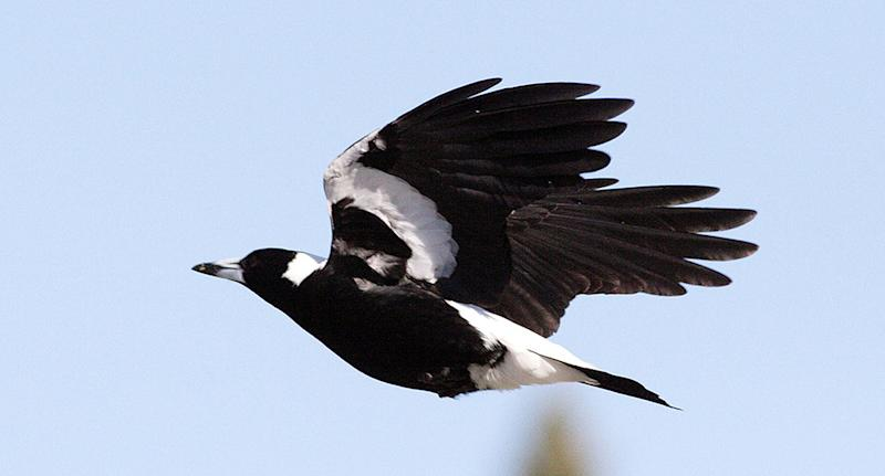 Swooping birds are becoming problematic for cyclists as the breeding season gets underway. Pictured is a file image of a magpie.