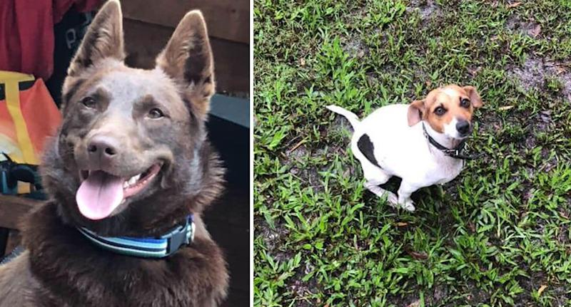 Dogs Shirl the red kelpie and Kipper the miniature Foxy pictured as they are missing in the Sunshine Coast fires.