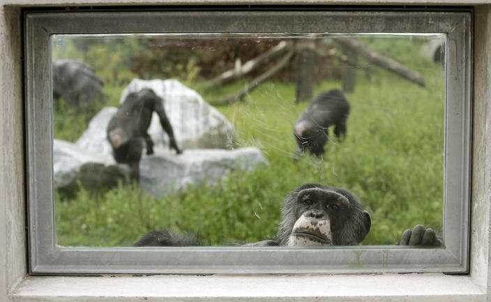 A chimpanzee looks through a window at Gut Aiderbichl's Sanctuary for Traumatized Chimpanzees and other Primates in Gaenserndorf, 50 kms (31 miles) northeast of Vienna, September 14, 2011. After three decades in captivity in tiny cages, 38 former laboratory chimpanzees were released to the new Gut Aiderbichl animal sanctuary, where they can spend the rest of their lives in peaceful retirement. (REUTERS/Herwig Prammer)