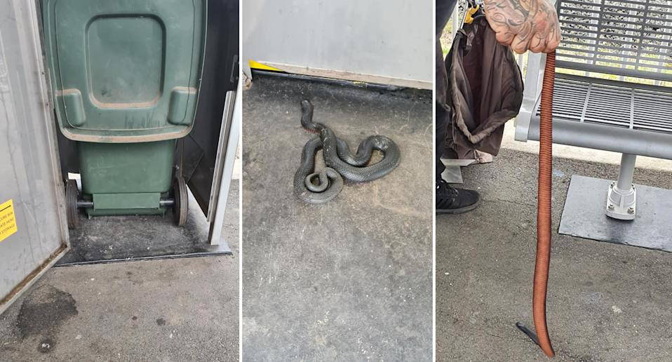 A red-bellied black snake found hiding in a bin at a Sydney train station