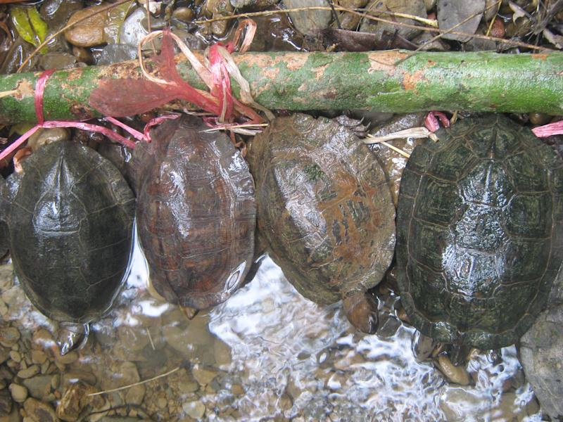 In this May 13, 2011 photo released by Indo-Myanmar Conservation 2011, confiscated Oldham's leaf turtles, or Cyclemys oldhamii, are shown when a group of turtle poachers from Ayeyawady Division were apprehended by a mixed government-community patrol team in the Southern Rakhine Yoma, Myanmar. Positioned at the core of one of the world's richest biodiversity hotspots, Myanmar is endowed with plant and animal life of the flanking Himalayas, Malay peninsula, Indian subcontinent and mainland Southeast Asia. (AP Photo/Indo-Myanmar Conservation, 2011)
