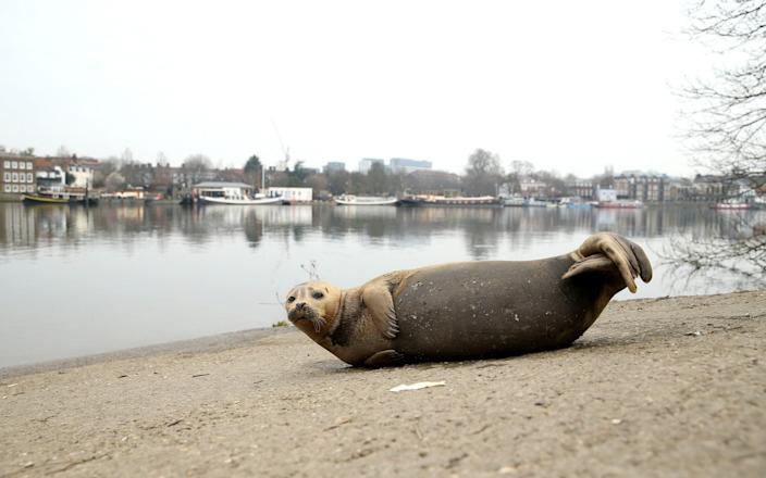 The seal on the bank of the Thames on March 8 - Chris Jackson