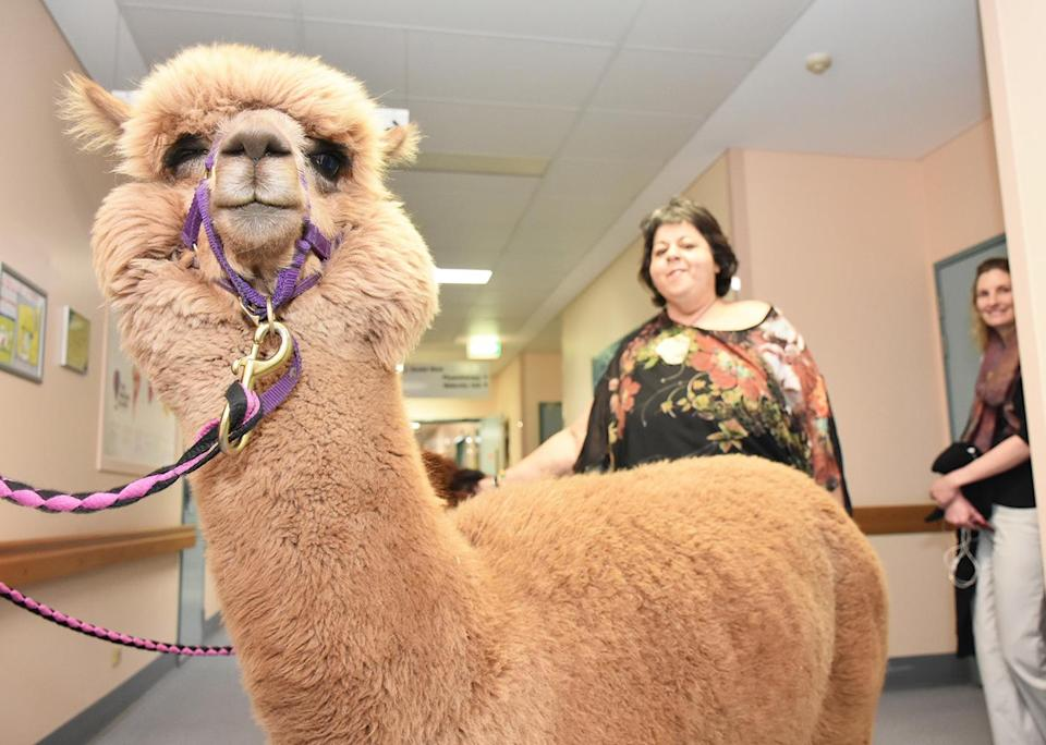The hospital has introduced the alpacas as part of the Delta Pet Program to bring the joy of animal companionship to patients. Source: Metro South Health