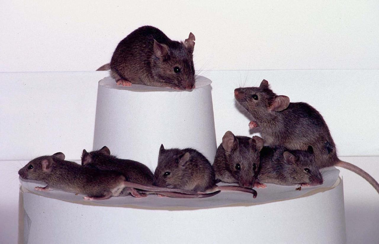 An international team said July 22 it had cloned not one mouse, but dozens, from adult mice. Ryuzo Yanagimachi of the the University of Hawaii, said they had cloned several generations of mice and hoped their method would prove to be a breakthrough for both animal breeding and basic scientific research. Three generations of cloned mice are shown here. The second level combines both the second and third generations, demonstrating the magnitude of the process.