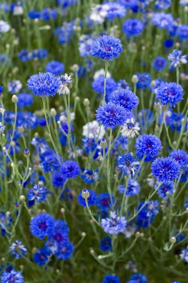 """<p>A cornflower (or """"Bachelor's button"""") carries a fond single blessing with every blue bloom. Give these as a good-luck charm, because they're especially linked to wealth and good fortune. </p>"""