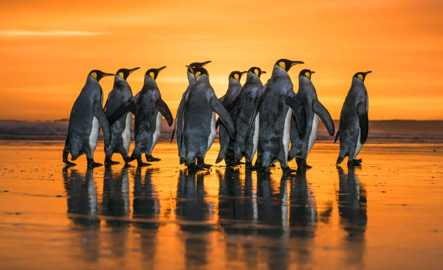 <p>King penguins marching during sunrise, Falkland Islands. (Photo: Wim van den Heever/Caters News) </p>