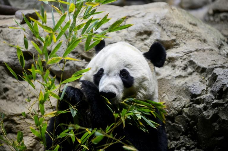 """Giant panda Bei Bei is heading back to China under the strict rules of """"panda diplomacy"""" (AFP Photo/JIM WATSON)"""