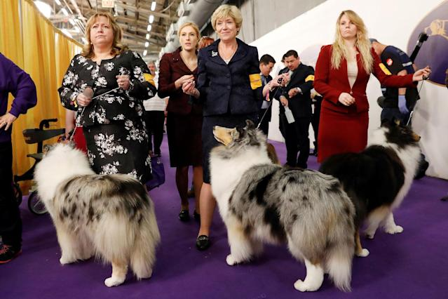 <p>Handlers wait to enter the competition ring during Day One of competition at the Westminster Kennel Club 142nd Annual Dog Show in New York,Feb.12, 2018. (Photo: Shannon Stapleton/Reuters) </p>