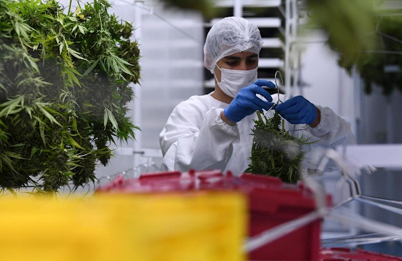 The marijuana plants need to be cut at just the right time before the flowers are dried and left to 'stabilize' (AFP Photo/Pablo PORCIUNCULA BRUNE)