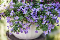 <p>Bacopa is most easily grown in containers which allows for the consistent moisture that this flowering plant needs. For optimal growth, place your hanging bacopa in a place where there is a lot of afternoon shade.</p><p><strong>Zones: 3-8</strong></p>