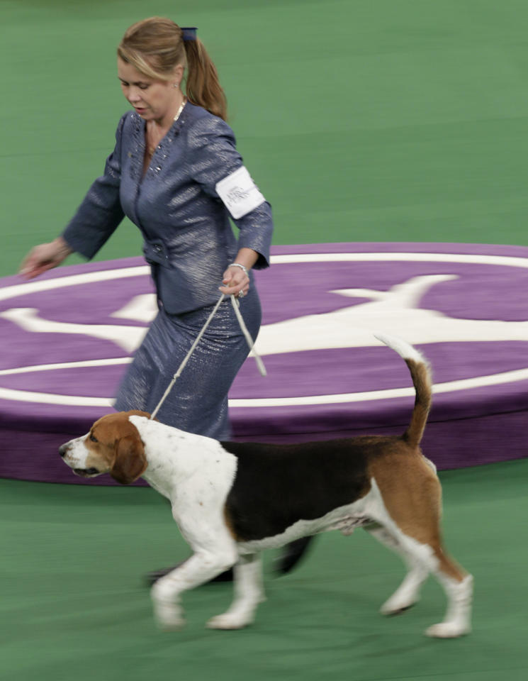 A harrier named Downhome Hitech Innovator runs during the hound judging at the 136th annual Westminster Kennel Club dog show in New York, Monday, Feb. 13, 2012. (AP Photo/Seth Wenig)