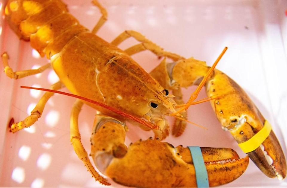 A rare orange lobster was discovered at a Japanese restaurant in Phoenix over the summer. Nobu Scottsdale turned over the crustacean to OdySea Aquarium. The creature doesn't have a public exhibit yet.