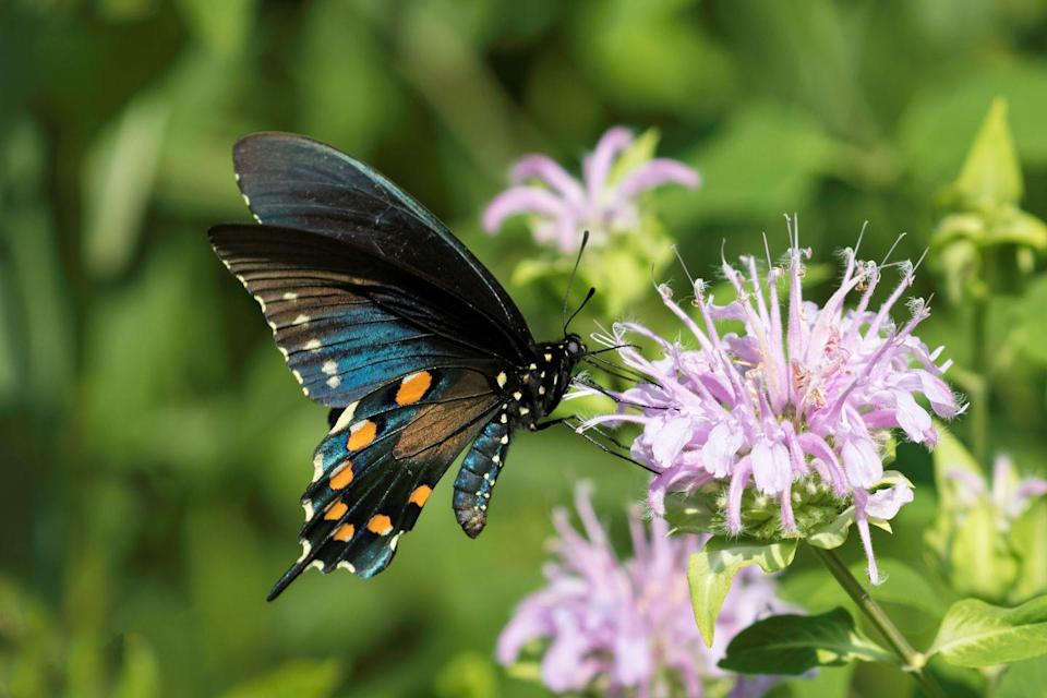 <p><strong>Spicebush Swallowtail Butterfly<br><br></strong>Mississippi is another state with the honey bee as its state insect, but it picked the unique Spicebush Swallowtail as its state butterfly. </p>