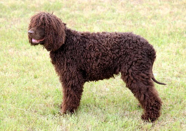 """<p><a href=""""https://www.akc.org/dog-breeds/irish-water-spaniel/"""" rel=""""nofollow noopener"""" target=""""_blank"""" data-ylk=""""slk:Irish Water Spaniels"""" class=""""link rapid-noclick-resp"""">Irish Water Spaniels</a> take the cake for the tallest of the American Kennel Club's (AKC) spaniels, coming in at 21 to 24 inches, straddling the line between medium and large dogs. They're distinguished by their crisply curled, liver-colored, waterproof coat and long, skinny tail. The IWS is hardworking, alert, inquisitive, brave in the field, and playfully affectionate at home. Their hypoallergenic coat requires brushing weekly and trimming every couple of months, but that's about it. </p>"""