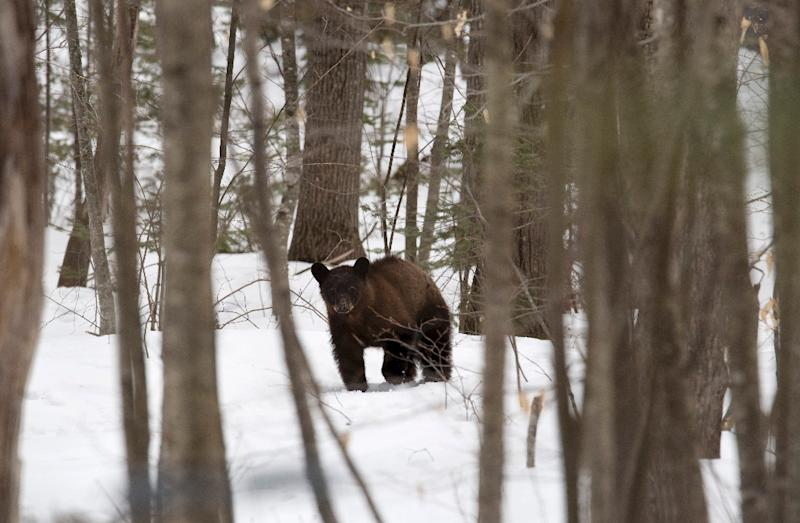 A black bear roams the property of wildlife biologist Ben Kilham in Lyme, New Hampshire (AFP Photo/Don EMMERT)