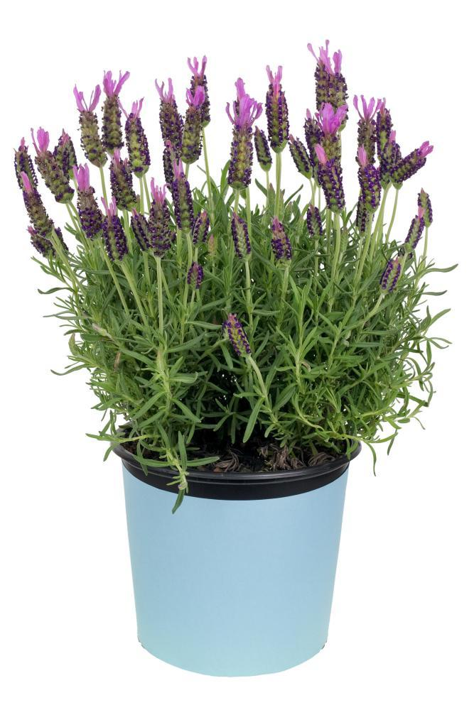 Purple reign: lavender will thrive almost anywhere.