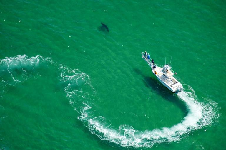 An Atlantic White Shark Conservancy boat chases after a shark off Cape Cod to tag it with a tracking chip