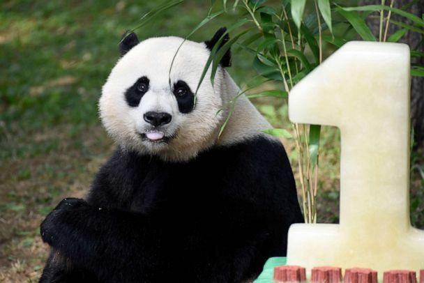 PHOTO: Mei Xiang, mother of giant pande cub Bei Bei, eats Bei Bei's birthday cake at the National Zoo in Washington, Aug. 20, 2016, during a celebration of Bei Bei's first birthday. (Sait Serkan Gurbuz/AP, FILE)