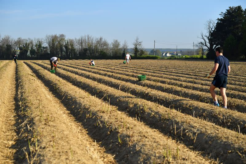 FILE PHOTO: Local residents pick asparagus as they work at Dyas Farms in Sevenscore