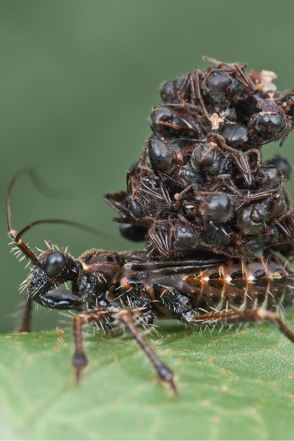 <p>As if their name didn't give them away, assassin bugs of Malaysia are the ultimate predators. They're known to hunt ants, and then turn the bodies of their victims' exoskeletons into outerwear. (They do this after liquefying and consuming the insides of the ants.) Then they use their new armor to confuse future predators. Brilliant.</p>