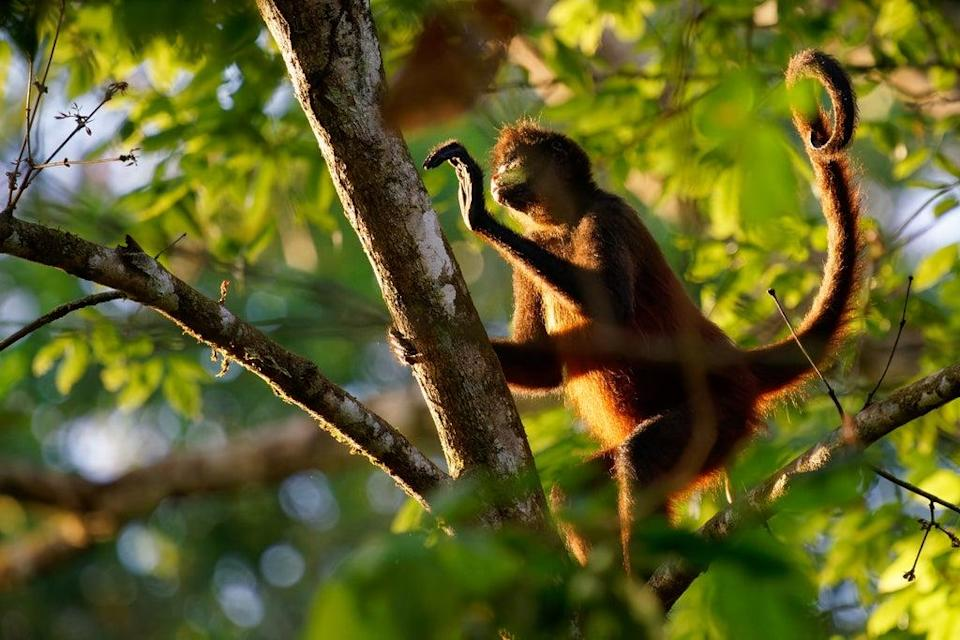 Like spider monkeys, our ancestors' tails helped them stay balanced in trees (Getty Images/iStockphoto)