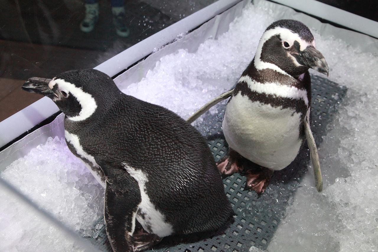 """NEW YORK, NY - MARCH 08:  SeaWorld penguins Pete and Penny are displayed at the after party for the """"Frozen Planet"""" premiere at Alice Tully Hall, Lincoln Center on March 8, 2012 in New York City.  (Photo by Astrid Stawiarz/Getty Images)"""