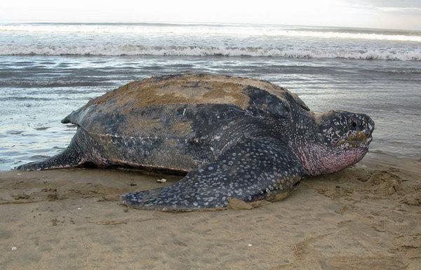 Jellyfish Hunt Hurts Pacific Leatherback Turtles