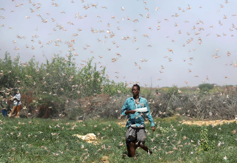 A Somali farmer walks within desert locusts in a grazing land on the outskirt of Dusamareb in Galmudug region