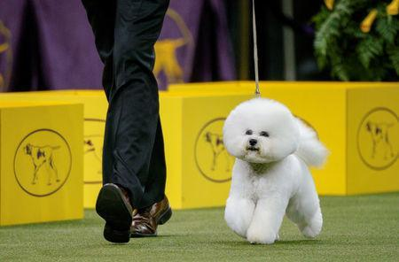 Flynn, a bichon frise walks during judging of the nonsporting group at the 142nd Westminster Kennel Club Dog Show in New York, U.S., February 12, 2018. REUTERS/Brendan McDermid