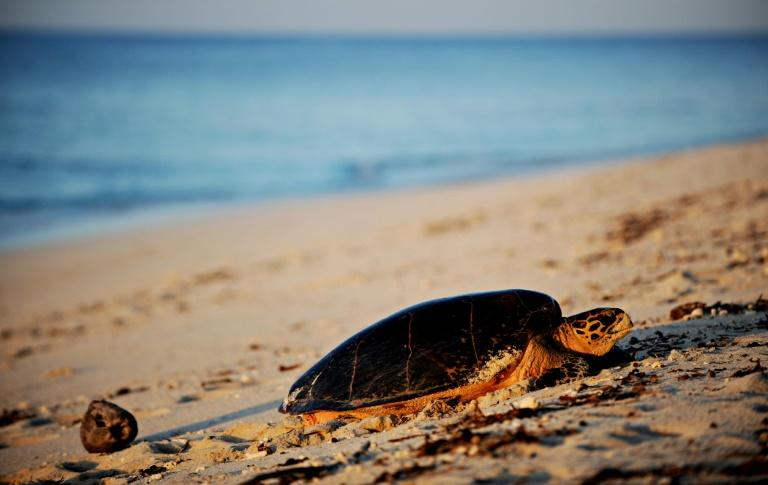 Growing mounds of plastic in the oceans and on beaches are often fatal for sea turtles