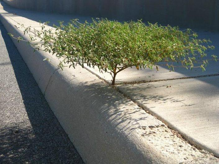 """This miniature """"tree"""" was discovered growing out of a sidewalk on a San Antonio, Texas back road. """"My girlfriend was on her way to Petsmart with a friend,"""" says Adam Marshall. """"She noticed this beauty pass by and they turned around to get out of the car and snap a photo."""" (Photo: Crystal Anderson/Valerie Neitsch)"""