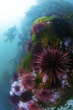 Purple sea urchins on a mossy rock underwater with kelp growing in the background.