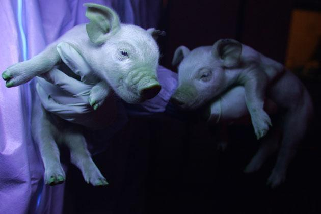 Biologist Yin Zhi holds the offspring of a genetically engineered pig, born with green patches when held up against ultraviolet light in Harbin on January 11, 2008 in northeast China's Harbin province. The second-in-command of a team carrying out cutting-edge research at the Northeast Agricultural University felt like a proud new father this winter when a set of genetically engineered green piglets saw the light of day, heralding a new chapter in Chinese science. Fame first came a year ago when the pig mother was born, virtually covered in a fluorescent green, even her tongue had the vaguely psychedelic hue, as the direct result of genetic engineering, but it is her offspring, the just born batch of piglets, who have sparked more interest from scientists because there's is a trait passed on from one generation to the next. AFP PHOTO/Frederic J. BROWN