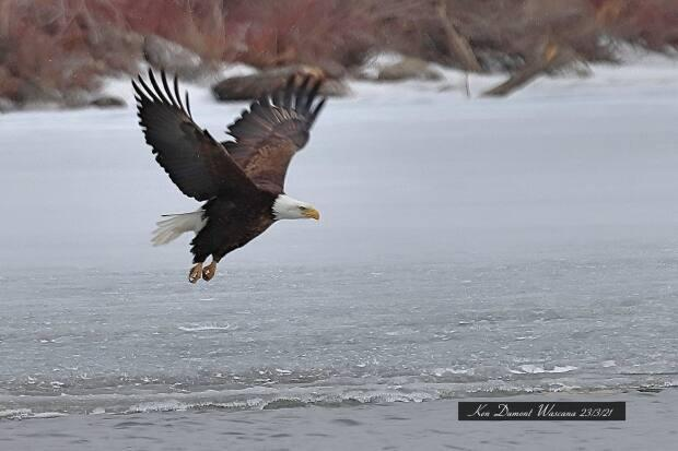 Ken Dumont captured images of a bald eagle he's calling 'Edward' while it made its home in Wascana Park — in the center of Regina.
