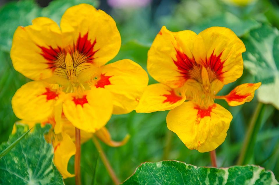 <p>Whiteflies and aphids can damage the leaves, stems, fruits, and roots of your vegetable plants. To keep them at bay, its best you plant some nasturtiums. Nasturtiums' bright leaves attract and trap these bugs, so you can ensure your vegetable plants stay safe all season.</p>